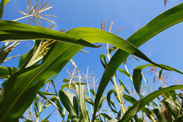 Field of Indian corn on blue sky