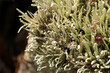 Background of Lichens (Cladonia)