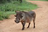 Warthog boar walking down gravel road