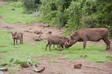 Warthog mother caressing piglets
