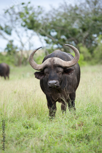 Buffalo sleeping while standing