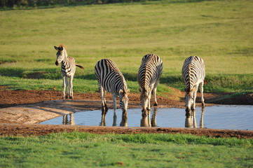 Burchells zebras and filly drinking water at waterhole
