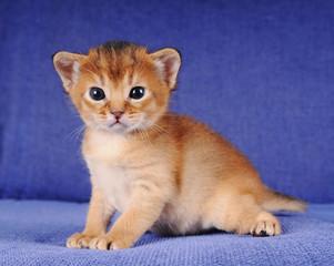 Little abyssinian kitten portrait