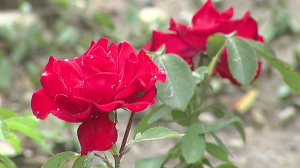 Roses after rain three video images