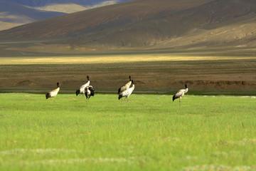 Black necked crane hanle