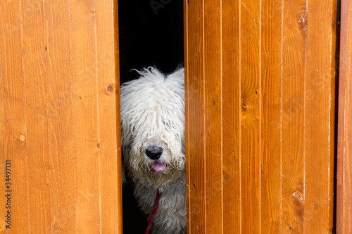 curious and shy dog hiding behind the wood door