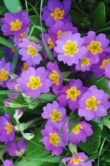 violette en fleur
