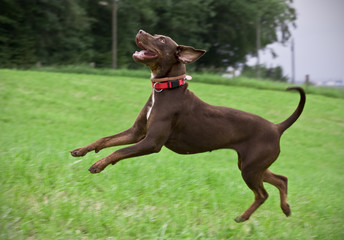 Young Brown Catahoula Leopard Dog Playing on a Meadow