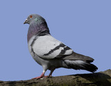 Side view of a feral pigeon on a branch poster