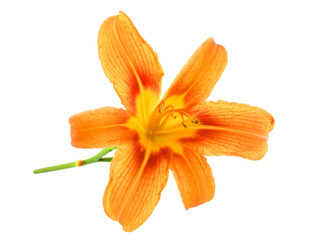 Orange Lilies isolated over white background
