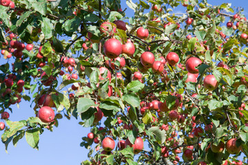 Red apples on a apple-tree
