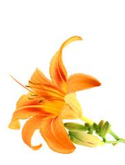 Orange Lily isolated over white background