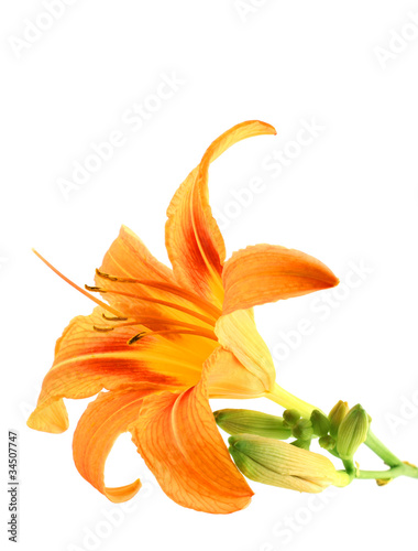 Orange Lily isolated over white background