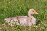 Youngster of white-fronted goose poster