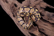 Baby Ball or Royal Python, Fire morph, on a piece of wood