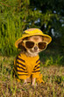 Chihuahua dressed with suit, straw hat and glasses in the garden