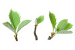 アズキナシの新芽