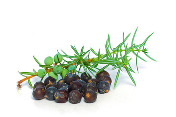 Juniper Berry and Green Branch Isolated - Closeup
