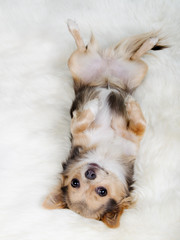 Chihuahua lying on her back on white fluffy fur