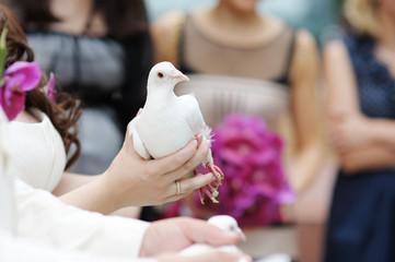 A white wedding dove at bride's hands