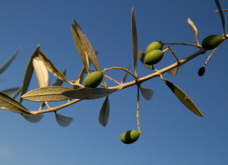Olive Trees, Istria, Croatia.