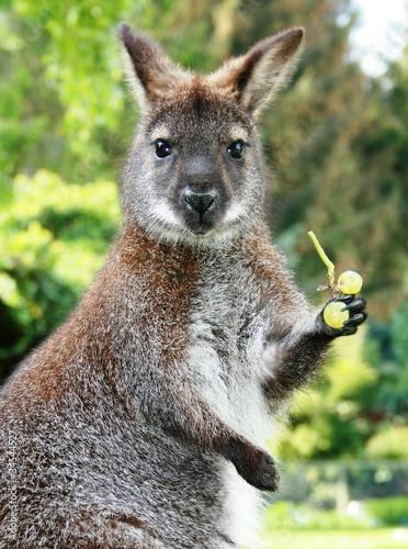 Känguruh mit Traube