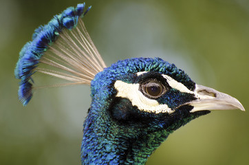 Peacock head closeup