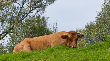 Brown cow lying on a green embankment
