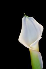 Beautiful calla lily flower on black