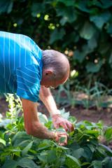 homme retraité ramassant ses haricots verts