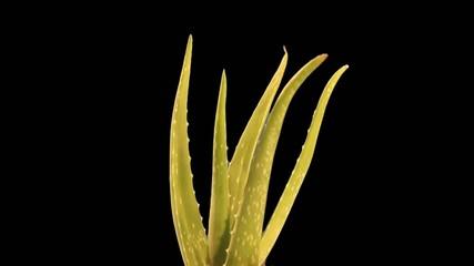 Aloe Vera drehend und gekeyt