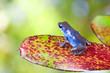 blue poison dart frog on leaf