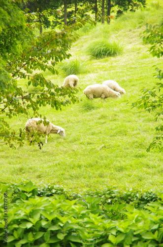 Pasture sheep