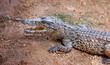 young crocodile, alligator on an ox