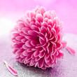 canvas print picture - kleine Chrysantheme
