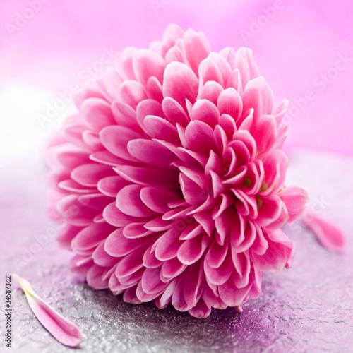 canvas print picture kleine Chrysantheme