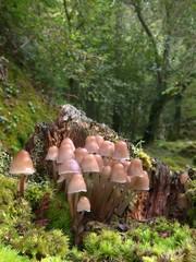 Psathyrella multipedata en el bosque.
