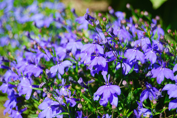 Many dark blue flowers lobelia