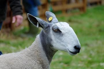 Prize winning sheep