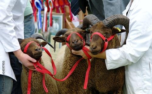 Prize rams