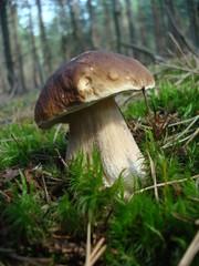 penny bun mushroom (Boletus edulis)
