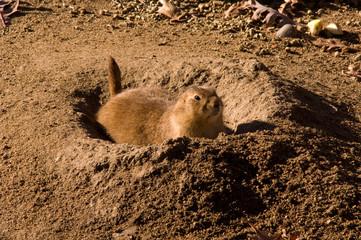 Dig That Fox Hole! - Prairie Dogs
