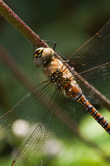 Dragonfly Aeshna mixta or Migrant hawker