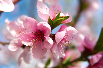 Blooming peach tree on blue sky background