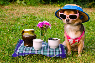 Tiny dog wearing t-shirt,hat,glasses relaxing in meadow