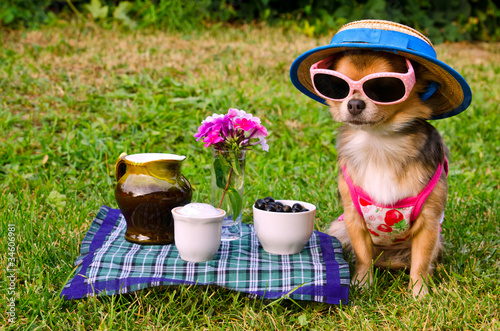 Fotobehang Picknick Tiny dog wearing t-shirt,hat,glasses relaxing in meadow