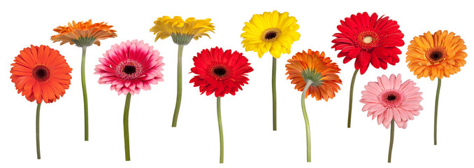 Colorful gerber flowers isolated on white