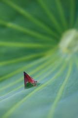 成長する蓮の蕾 (東京・上野不忍池)