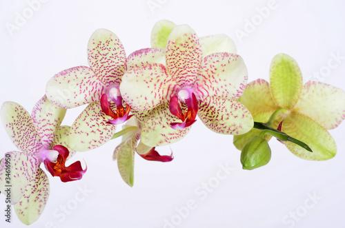 fototapete orchideen bl ten zen wellness fototapeten. Black Bedroom Furniture Sets. Home Design Ideas