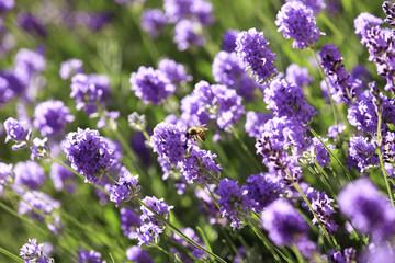 Honey bee on a Lavender flower
